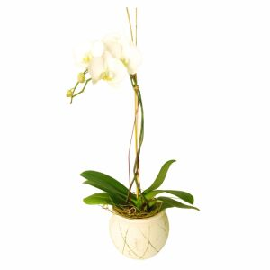 Orchid in ceramic vase