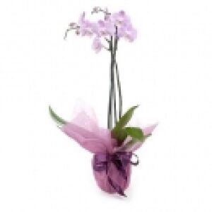 Phalaenopsis Orchid (Subject to availability)